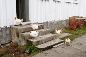 Kunstnarkollektivet på Skomvær held seg med høns. Foto: Hilde Kat. Eriksen